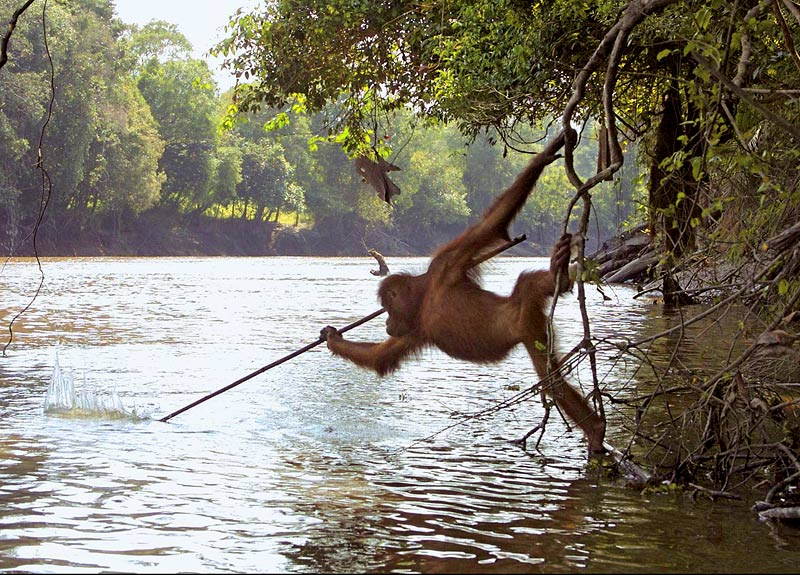 orangutan-tool-use-fishing